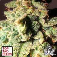 Top Tao Seeds Micron Auto Tao